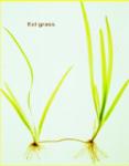 eel-grass.png